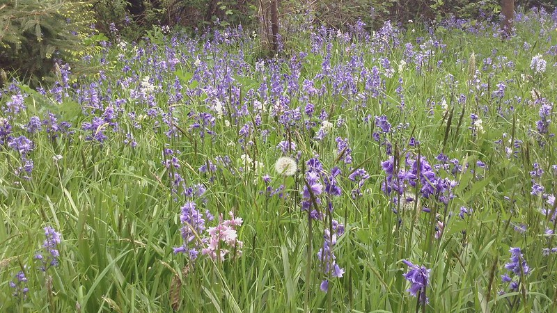Birdsong and bluebells (video, 25 sec)
