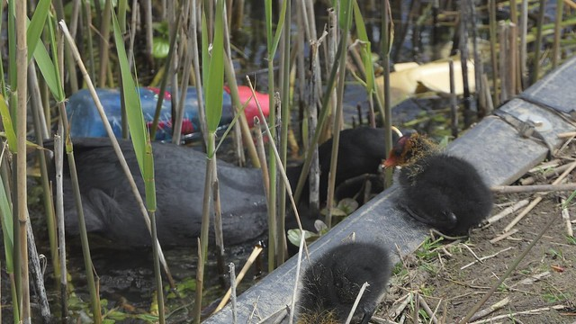 Coots and Plastic