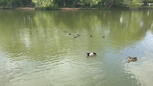Duckling Delight