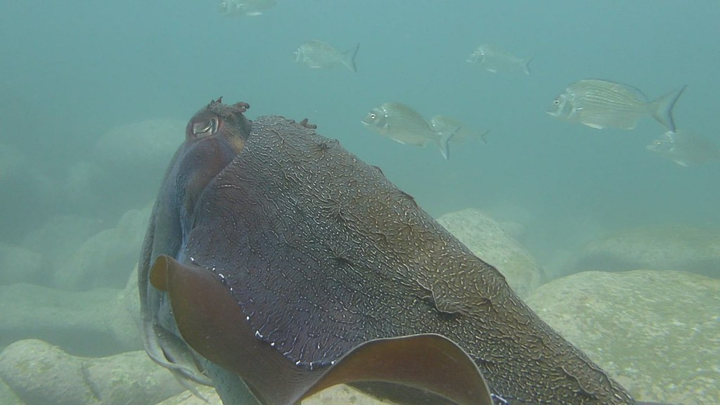 Giant Cuttlefish swimming over rocks blue 2021 May 20 CTB