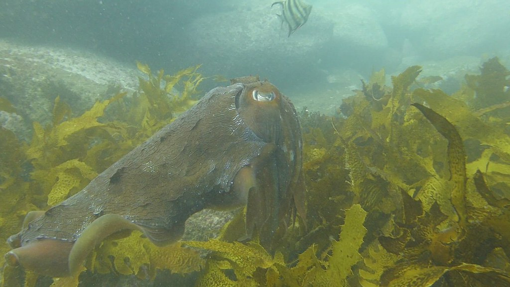 Giant Cuttlefish swimming 2021 May 20 CTB