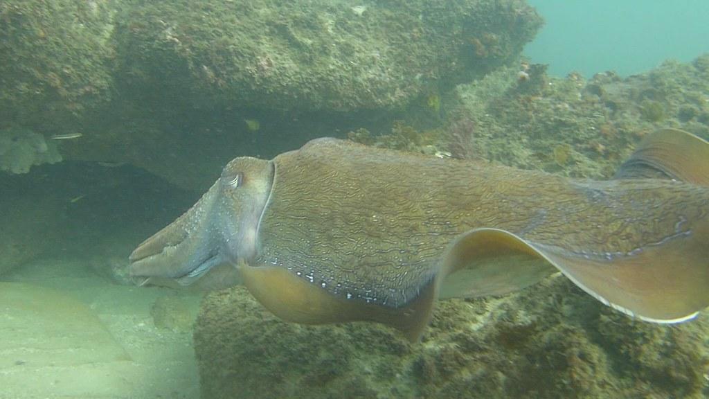 Giant Cuttlefish swim thru 2021 May 20 CTB