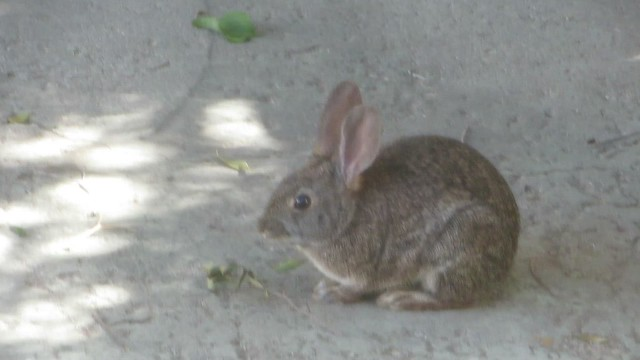 our daily visit from the wild bunny