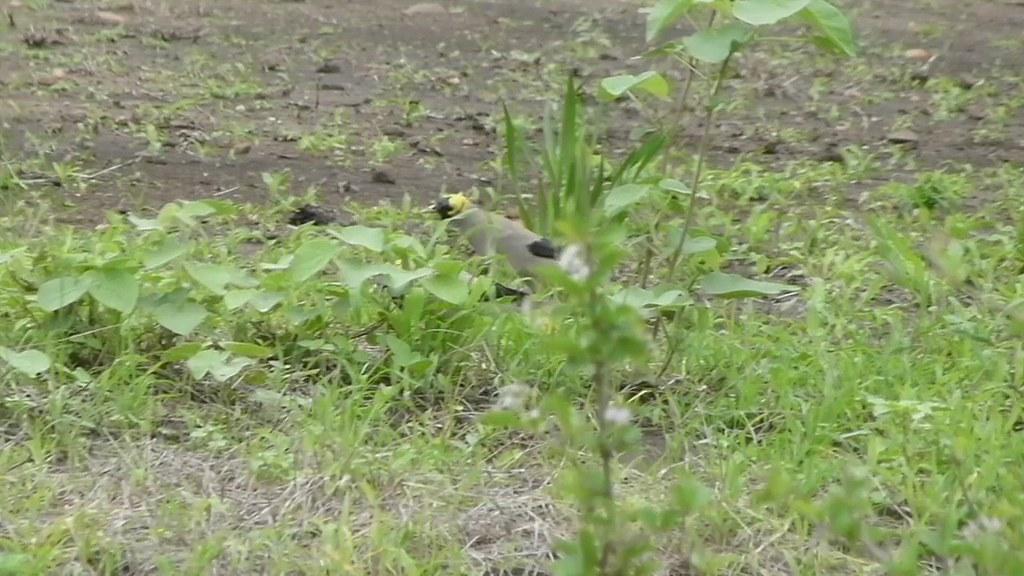 Wattled Starlings (Creatophora cinerea)