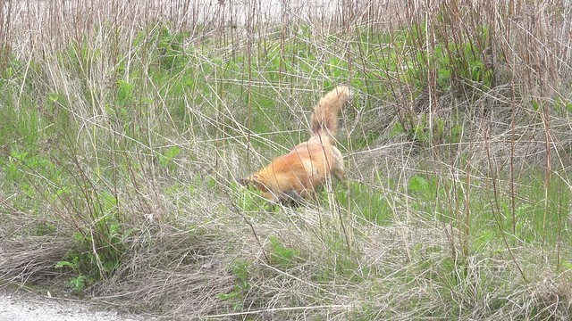 Red Fox dad catches a vole, Tommy Thompson Park, Toronto