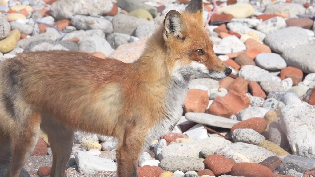 Red Fox, Tommy Thompson Park, Toronto