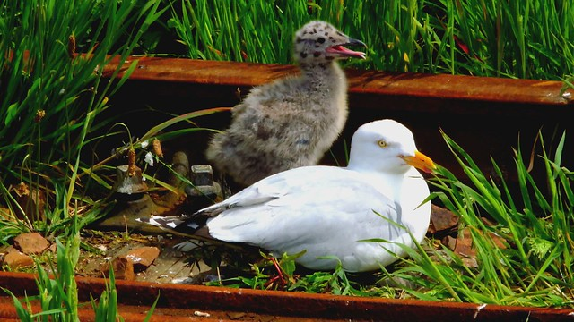 Scotland North West Highlands Mallaig a baby Herring Gull and its mother video 19 June 2021 by Anne MacKay