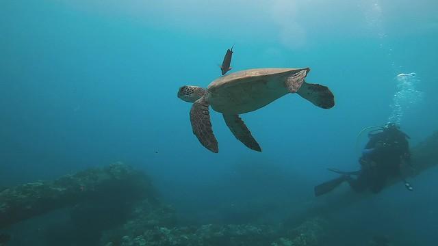 Mala Wharf Turtles - Maui, Hawaii