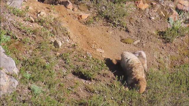 Marmots at Play