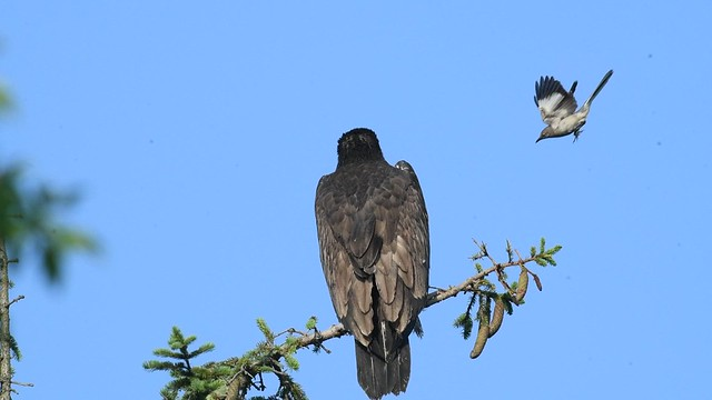 Juvenile Bald Eagle Pestered by a Mockingbird