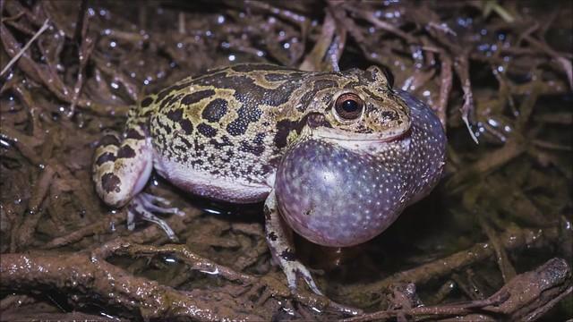 Lowland Burrowing Treefrog