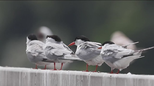 Common Terns on railings at Cropston Reservoir
