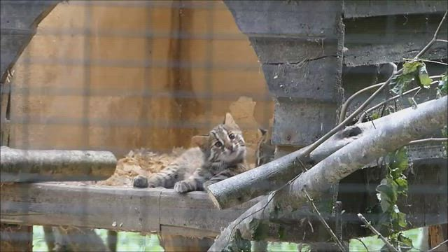 Chats léopards  de Sibérie