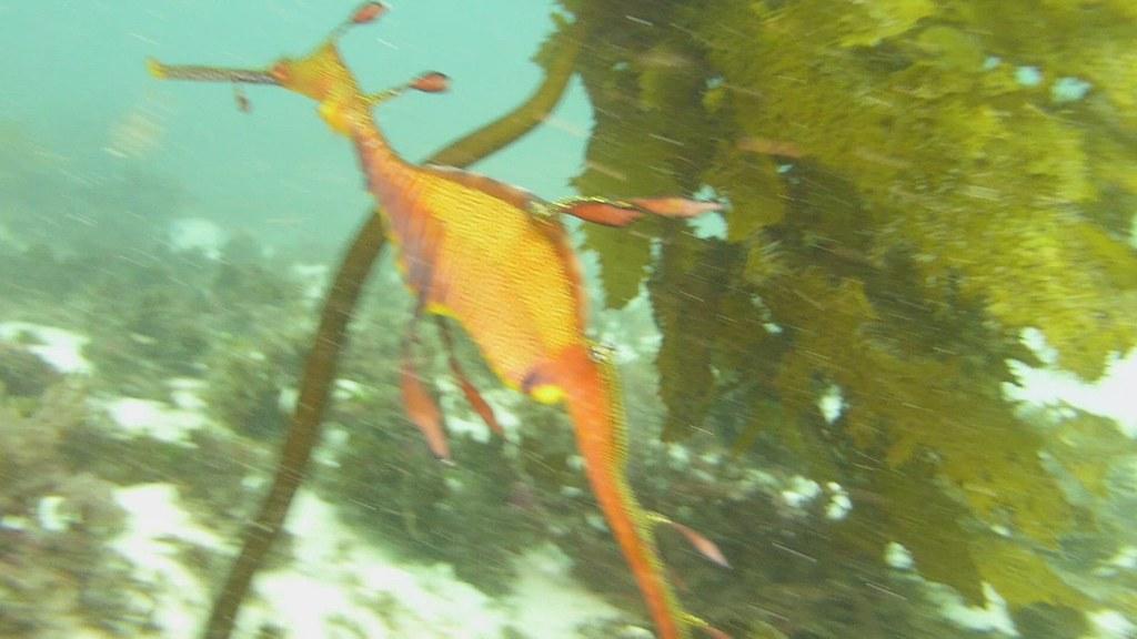 Female Weedy Sea Dragon - 2021 Aug 17 - CTB with Jeremy