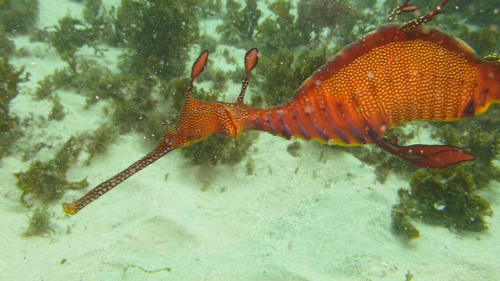 Female Weedy Seadragon 2021 Aug 17 CTB