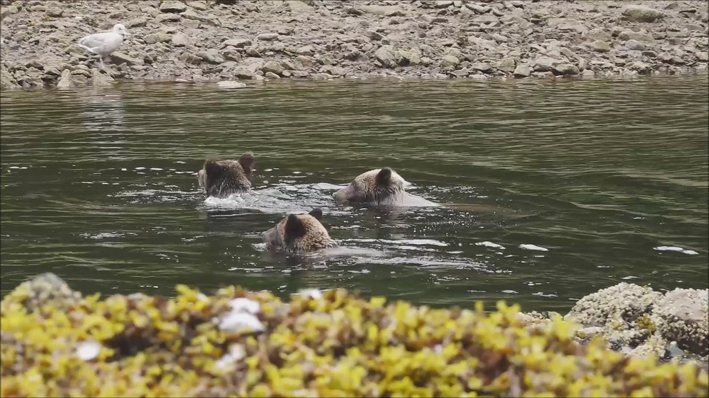 grizzly family on Pavlof river