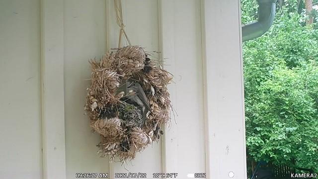WK037.Grauschnäpper füttert am 22_07_21