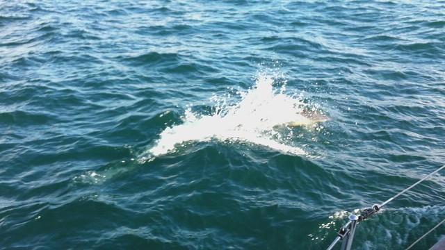 Dolphins en route Arisaig
