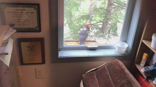 Pileated Woodpecker at bird feeder