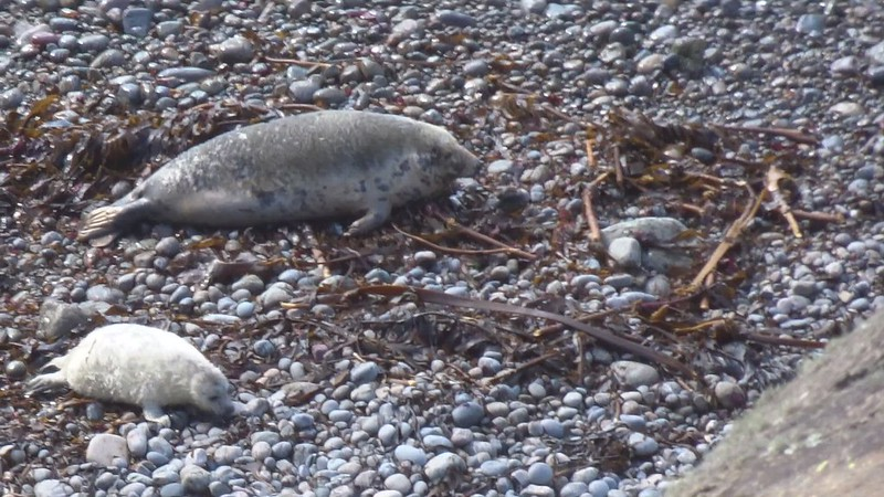 Seal pup perseveres (video, 20s)