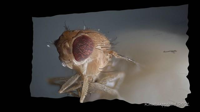3D render of a Fruitfly