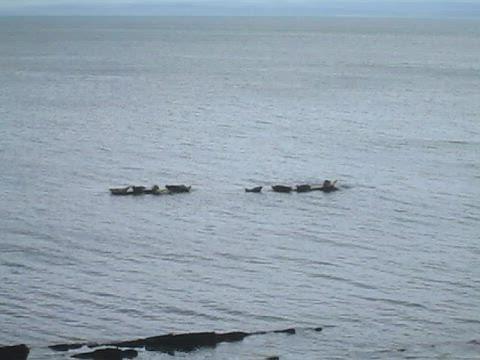 Seals Wailing, Seafield, Kirkcaldy