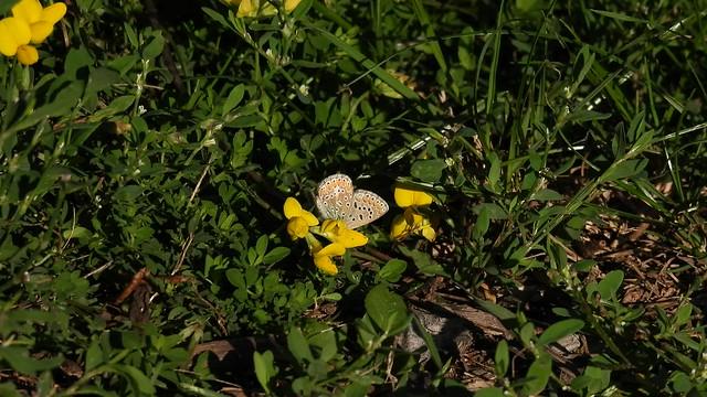 Nikon P950, 4K, Butterfly, Montréal, 24 September 2021