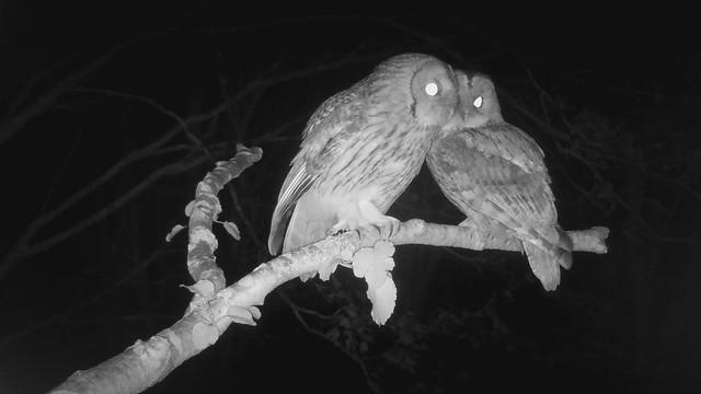 Tawny Owls (wild) [short video]