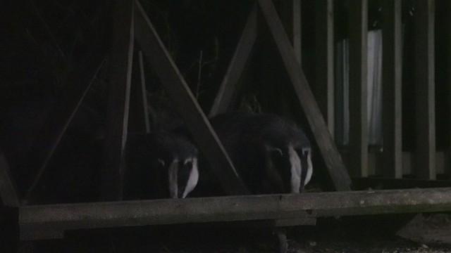Slow Video: Badger Watching (1/3)