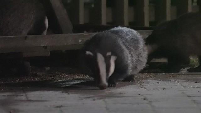 Slow Video: Badger Watching (2/3)