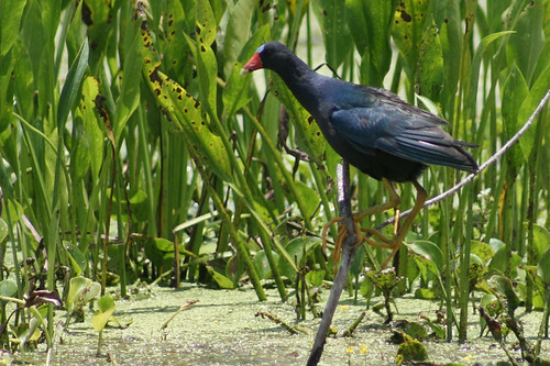 Purple Gallinule (Porphyrio martinicus) | by J Scott Ryder