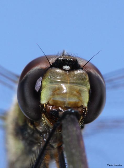 Série com uma Libélula - Series with a Dragonfly - 19-03-2009 - IMG_3443