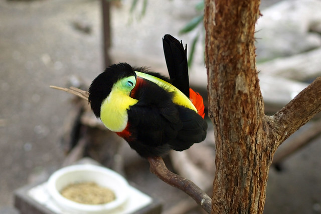Sleeping toucan