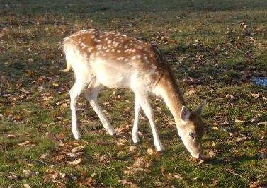 Deer, Knole Park Sevenoaks Circular