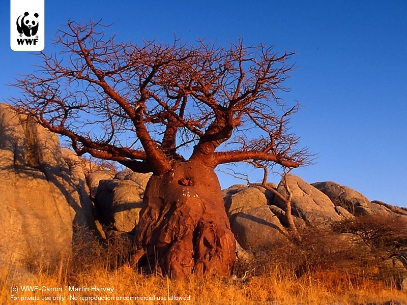 Adansonia digitata Baobab tree on Kubu Island, Botswana | Flickr