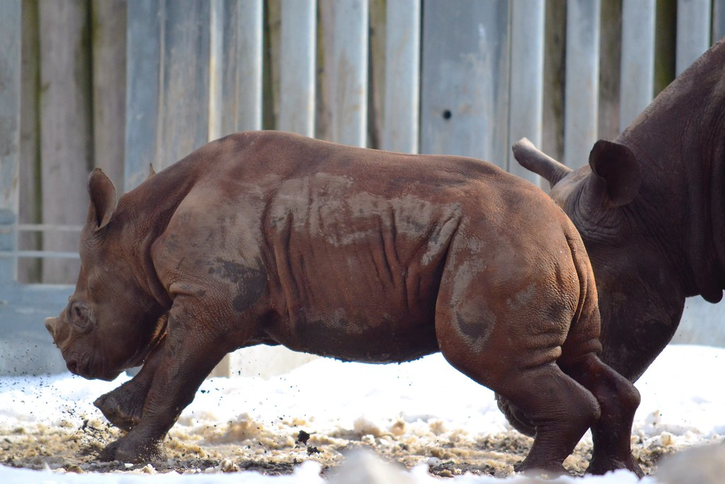 6 Month Old Rhino   Lincoln Park Zoo   Eva O'Brien   Flickr