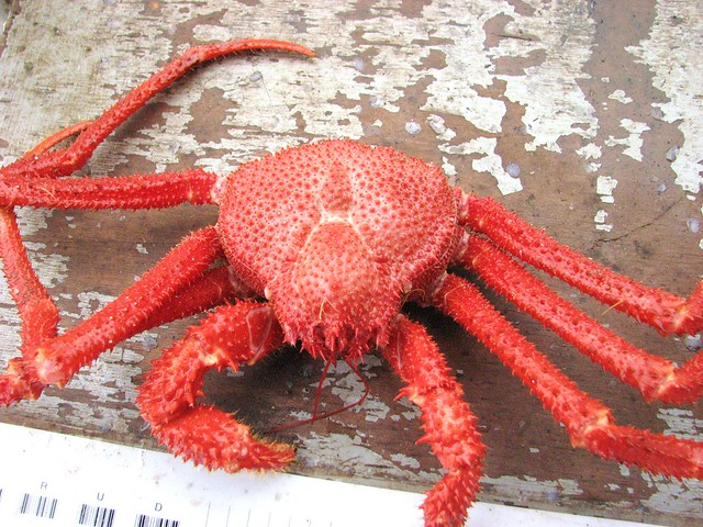Many Spined Spider Crab (Paralomis multispina)