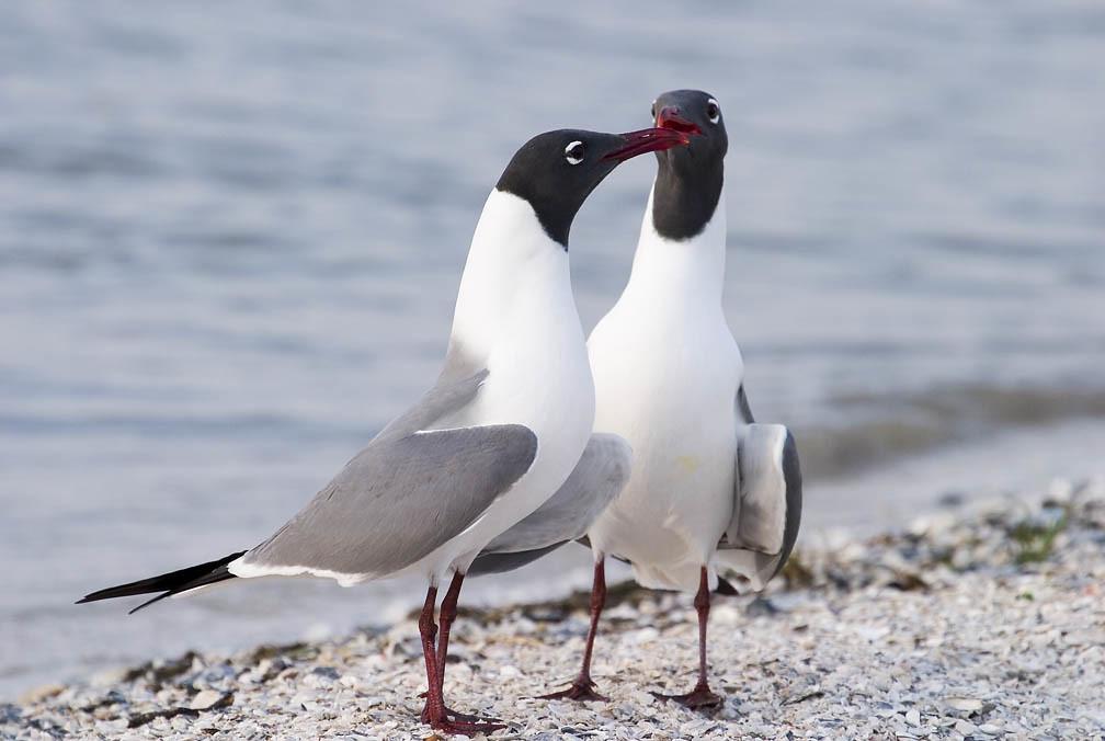 Laughing Gulls, Texas