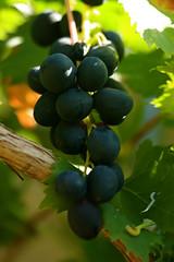 Black Emerald Grapes | by ksuayan