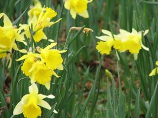 Daffodils8