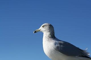 Calm Seagull | by zigdon