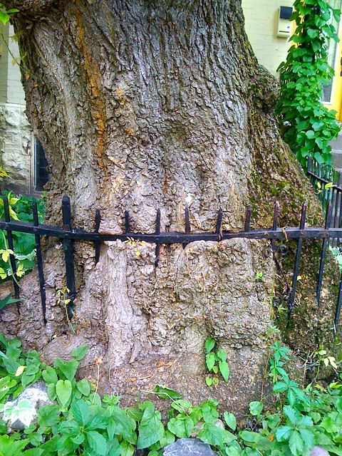 Overgrown fenced-in tree