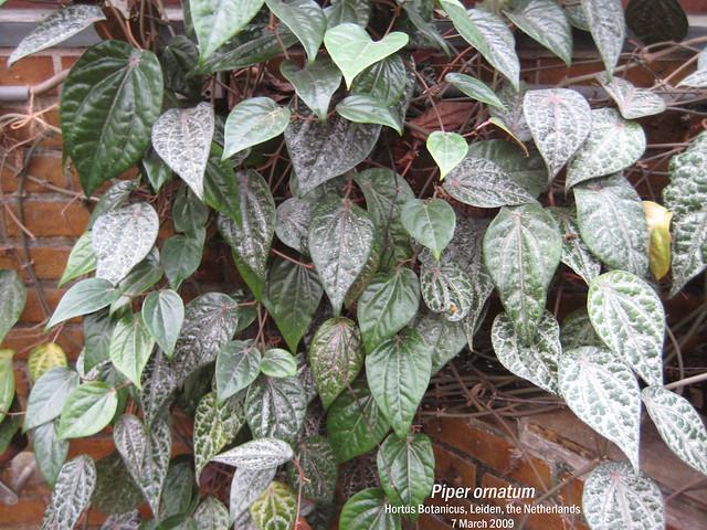 Piper ornatum (Ornate Pepper Vine) - Hortus Botanicus, Leiden, NL 7 Mar 2009 Leo