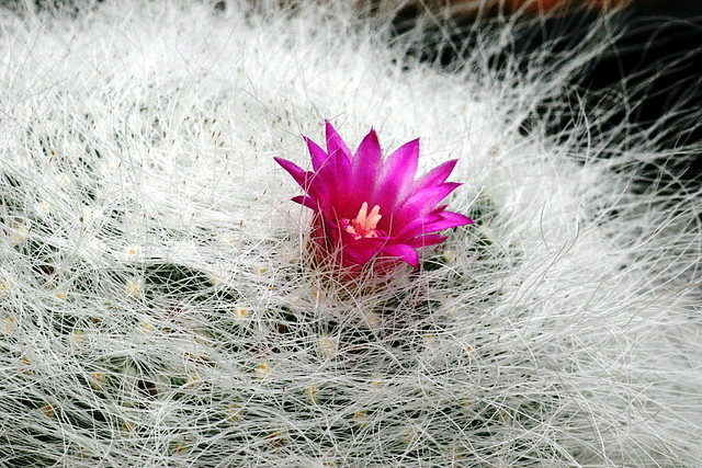 仙人掌 cactaceae