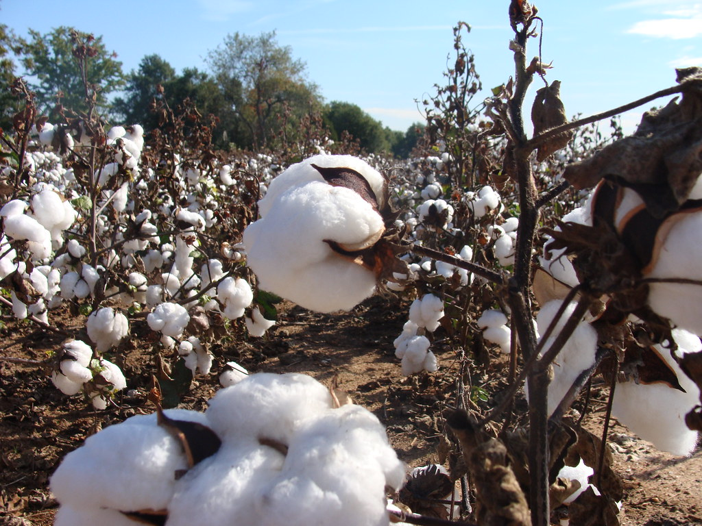 Branche Fleur De Coton mature cotton field, cherokee county | as the title says, th