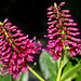 Verónica de Nueva Zelanda - Photo (c) James Gaither, algunos derechos reservados (CC BY-NC-ND)