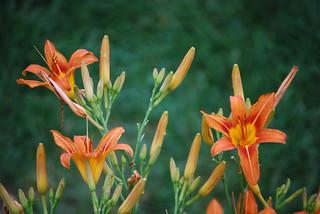 Tall Orange Daylilies | by Rachel Ford James