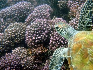 Oman_Dive_Centre_Turtle Euro_Dive