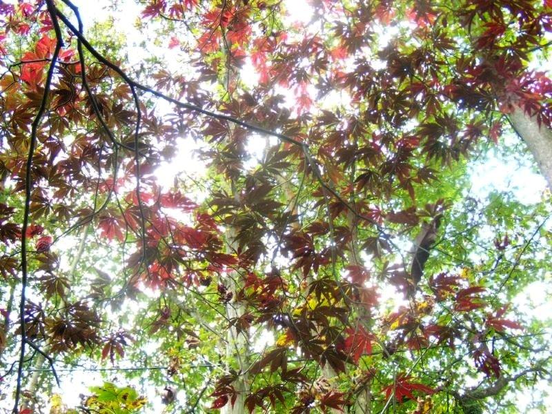 Maple leaves Winksworth Arboretum Milford to Godalming