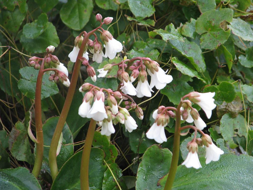Bergenia emeiensis
